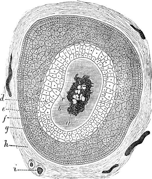 La structure du cheveu humain.