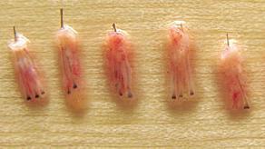 Les greffons avant l'implantation de cheveux FUE.
