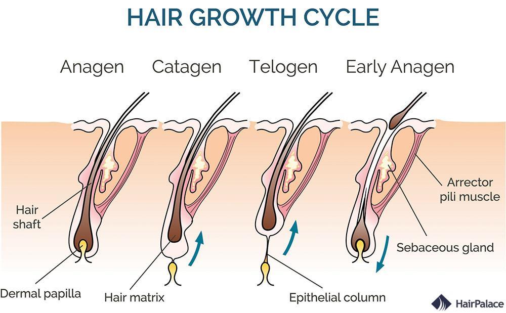 structure des cheveux